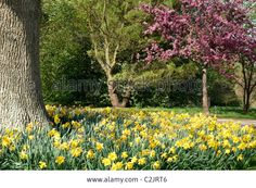 Naturalised Daffodils And Red Blossom, Sir Harold Hillier Gardens ...
