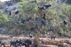 Kletterziegen in Marokko Painting, Goat, Climbing, Morocco, Other, World, Painting Art, Paintings, Painted Canvas