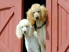 Standard Poodles  Looks like my Brun  ( Baron Rhineland River Germany's Finest Bruno)& Jazzy ( All That Jazz)