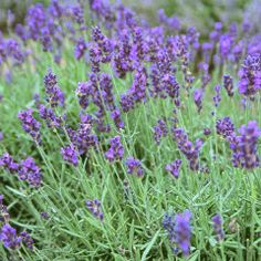 Lavender essential oil will help sooth burns and bug bites. Lavender can be ingested as a tea to help relieve stress headaches or minor depression.