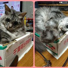 汚い箱で御免なさい😅  ユナとベルトで遊んでます😊  くだらないけど楽しい〜🙌✨✨ #猫と遊ぶ#猫と遊ぶ瞬間#猫は癒やし#かわいい猫#猫と遊ぶの楽しい#猫サバトラ #ねこ #ねこ部 #ねこすたぐらむ #ねこら部 #猫のいる生活#愛猫#愛する猫#長毛種#ママカメラ#ふわふわ猫#ネコ部#箱が好きな猫#やっぱり箱が好き#catloves #cat #cats #catstagram #instagramcat