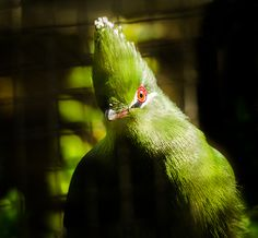"Curious Black-billed Turaco - This species of Turaco is sometimes also called ""Emin's Turaco""."
