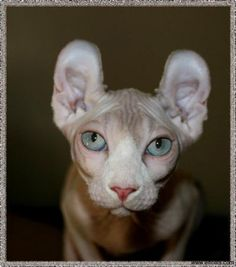 The Elf cat is a very new and extremely rare hybrid breed originated by crossing the Sphynx with the American Curl. The Elf cat has inherited the hairless appearance Rare Cat Breeds, Rare Cats, Exotic Cats, Cats And Kittens, Best Family Dog Breeds, Elf Cat, Cats That Dont Shed, Purebred Cats, American Curl