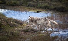 Legend of the Sub-Arctic.  Help to save wolves in the wild!