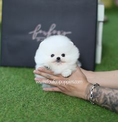 Teacup Pomeranian, Teacup Puppies, Pomeranian Puppy, Pomeranians, Cute Dogs And Puppies, Fox, Teddy Bear, Kitty, Colours