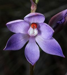 Thelymitra brevifolia (?) - Sun-Orchid, by kimborow, via Flickr