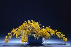 ミモザアカシアの鮮やかな黄色とガラス花器の青との色のコントラストを楽しみました。湧き上がるような新鮮な空気感を表現しました。花材:ミモザアカシア、かすみそう 花器:ガラス花器(岩田久利) The color contrast of the bright yellow of Mimosa and the glass vase's blue expresses fresh air as if coming out of the vase. Material:Mimosa, Baby's breath Container:Vessel: Glass vase  #ikebana #sogetsu