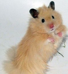 Hamsters as pets makes the cutest pets with very little expense and less space. They are not dogs but they are as cute and loving as any other pet.