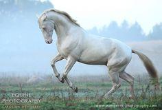 Equine Photography - Karolina Wengerek Akhal-Teke - golden horses of the desert - Samurai Shah