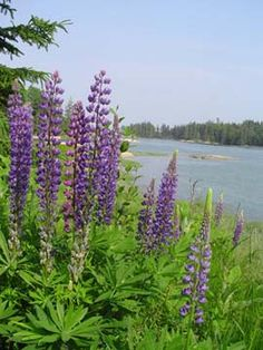 Wild Maine lupines ... whole fields of pinks and glorious purples