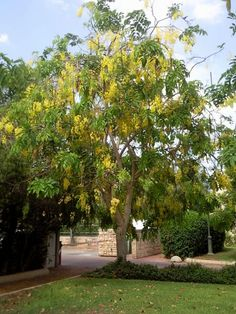 Cassia splendida Golden Backyard trees and shrubs discards