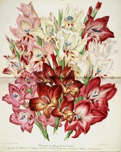 The Biodiversity Heritage Library works collaboratively to make biodiversity literature openly available to the world as part of a global biodiversity community. Illustration Botanique, Botanical Illustration, Missouri Botanical Garden, Botanical Gardens, Old Book Pages, Gladiolus, Art Clipart, Picture Collection, Botanical Prints