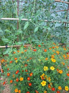 64 Great Companion Planting For Tomatoes Images In 2019 Potager