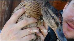 duck hunting.  охота на уток с подсадной