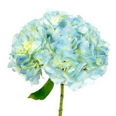 Seaglass Fresh Cut Hydrangea Flower