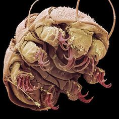 Coloured scanning electron micrograph (SEM) of a freshwater tardigrade or water bear (Echiniscus sp. Weird Creatures, Sea Creatures, Electron Microscope Images, Tardigrade, Micro Photography, Animal Photography, Microscopic Photography, Microscopic Images, Macro And Micro