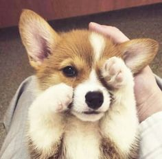 60 Photos For Anyone Who's Just Having A Bad Day - Cute corgi puppy - Puppies Cute Corgi Puppy, Corgi Dog, Cute Dogs And Puppies, Baby Dogs, Puppies Puppies, Pembroke Welsh Corgi Puppies, Cavapoo Puppies, Rottweiler Puppies, Teacup Puppies