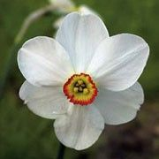 Narcissus poeticus var. recurvus (Old pheasant's eye) Click image to learn more, add to your lists and get care advice reminders each month.