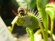 Browsing Photography on DeviantArt Venus Flytrap, Japanese Woodcut, Fly Traps, Carnivorous Plants, Digital Camera, Deviantart, Nature, Photography, Beautiful