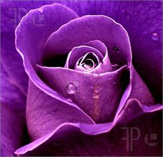 purple roses   PURPLE ROSE Picture. Photo To Download by FeaturePics.com