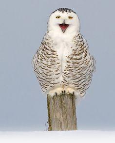Funny snowy owl