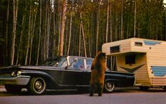 It looks like the bear knows the picnic basket is in the trailer. - Yellowstone Park