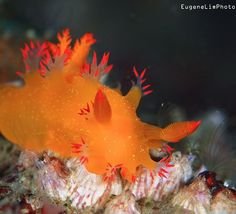 Nudibranch | photo by Eugene Lim