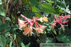 Lonicera x heckrottii 'Goldflame' is a lovely climbing honeysuckle with excellent orange/yellow tubular flowers held in whorls over blue/green foliage. It is heavily scented, strong and fast growing but needs support.