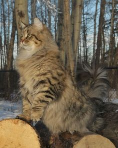My Norwegian Forest Cats playing in the garden Cute Kittens, Cats And Kittens, Siamese Cats, Siberian Forest Cat, Animal Gato, Norwegian Forest Cat, Maine Coon Cats, Fluffy Cat, Beautiful Cats
