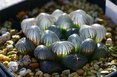Some interesting and unusual succulents - Hawthoria obtusa