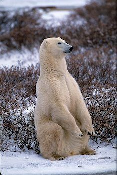 picture of Polar Bear Sitting Up Image