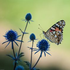 Check out Butterfly by ChristianThür Photography on Creative Market Blue Flowers, Butterfly, Animals Photos, Christian, Creative, Plants, Pictures, Photography, Check