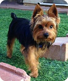 Valley Center, CA - Yorkie, Yorkshire Terrier. Meet OLIVER a Dog for Adoption.