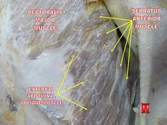 Serratus Anterior Muscle Click for Free Report on Building Muscle the right way