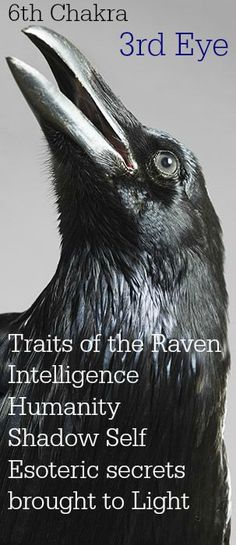 Raven Totem, Raven Bird, Animal Spirit Guides, My Spirit Animal, Raven Tattoo, Crow Tattoos, Raven And Wolf, Blackbird Singing, Crow Art