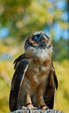 Photo of Asian brown wood owl by Bryan Maleckar at the Center for Birds of Prey in Awendaw, South Carolina; this bird is native to southern Asia, from India to China.