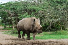 Extremely Rare White Rhino Dies in Kenya—His Kind Nearly Extinct. Isn't this a wake-up call?