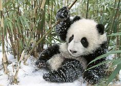 Adopt-a-Panda for Chinese New Year (many ways you can help)
