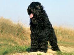 Chien Terrier noir russe