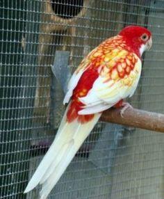 opaline lutino peach faced lovebird | Animals | Pinterest ... | 236 x 286 jpeg 15kB