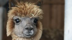 Alpacas have the silkiest, most versatile fiber. It's stronger than mohair, finer than cashmere, smoother than silk, softer than cotton, warmer than goose down, and better-breathing than thermal knits. And gosh, they are just plain cute!