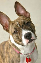 Ruby is an adoptable Pit Bull Terrier Dog in Camp Hill, PA. Ruby is an awesome girl. She takes a fewmoments to get to know you and then the two of you are friends for life. She loves nothing more tha...