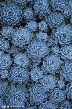 ⋯⋯⇢||via http://nipic.com/show/2/64/27e891b3b4cceca4.html ⋯⋯⇢||blue succulents