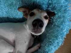 Jack Russell Terrier , Max