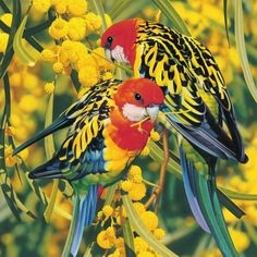 A birthday card featuring the Eastern Rosella of Australia.