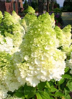 50pcs Vanilla Strawberry hydrangea Flower Seeds for planting easy to grow flower seeds as bonsai or tree Decorative home garden
