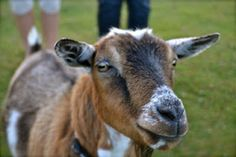 Annabelle our Pygmy Goat