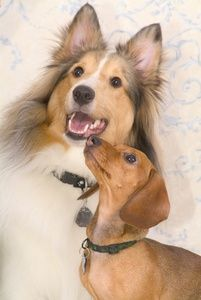 Dog Breed Clipart Image: Two cute dogs, a sheltie and a wiener dog or dachshund, posing