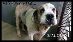 Georgia Help! - hes still waiting!!  Please show some love for Nigel! Please share!  Shelter is FULL! Nigel now has $500 pledged to approved 501c3 rescue~Please SHARE for Pledges/Rescue/Adopt! PM PAGE with any questions/interest! ONE DOG OUT SAVES ANOTHER!