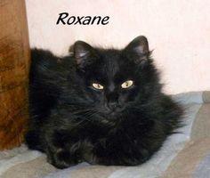 Roxane   Type : Chat domestique poil mi-long Sexe : Femelle Age : Junior Couleur : Noir  Taille : Petit Lieu : Loire - 42 (Rhône-Alpes)  Refuge :  Amis Chats(Loire) Tél : 04 77 33 56 02 Saint Etienne